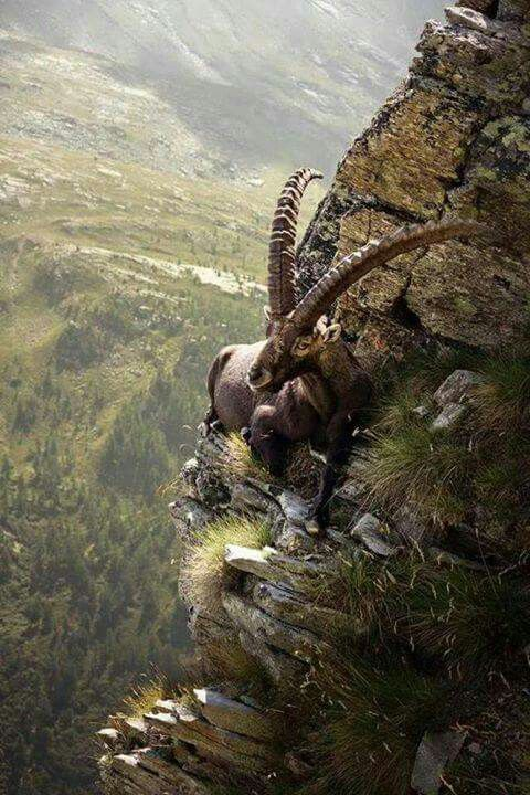Great place to see nature - Funny Videos - funvizeo.com - goat, mountains, animal, nature