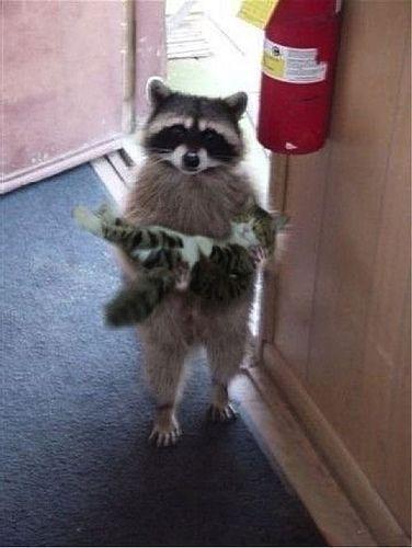 Nanny Raccoon - Funny Videos - funvizeo.com - racccoon,funny cat,funny animal,nanny
