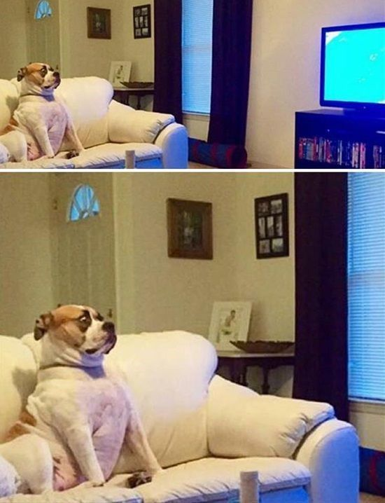 Funny Dog Pictures - Bulldog watches a horror movie