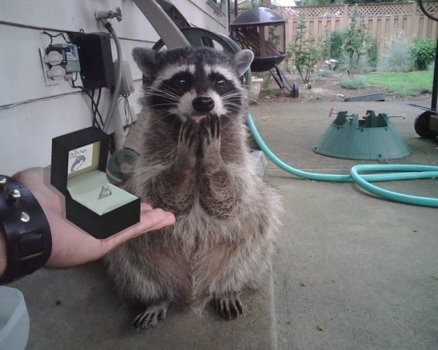 Funny raccoon picture