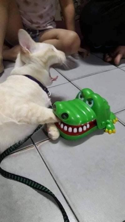 Play crocodile dentist game with my cat