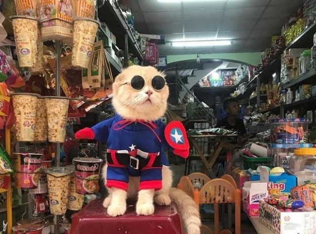 Captain America - Cute Kitten Version - Funny pictures, memes - funvizeo.com - captain america,costume,cute cat,cute pet,sunglasses