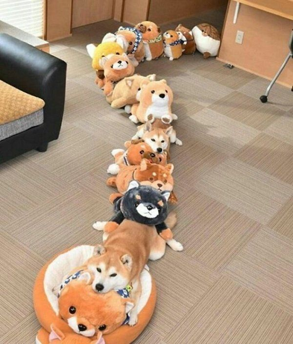 How many real dogs in this room? lol
