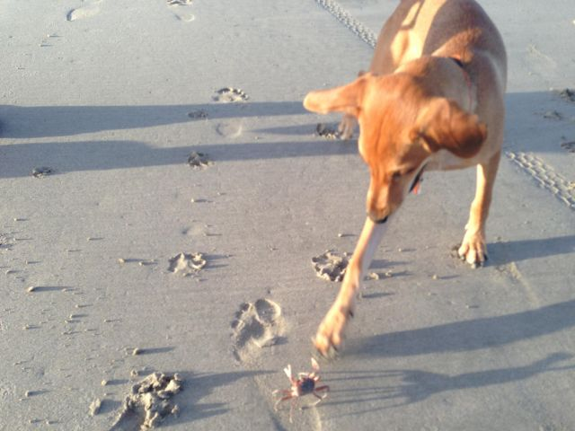 Funny Puppy vs Grab - Funny pictures, memes - funvizeo.com - funny dog pictures,funny pet,funny puppy,crab