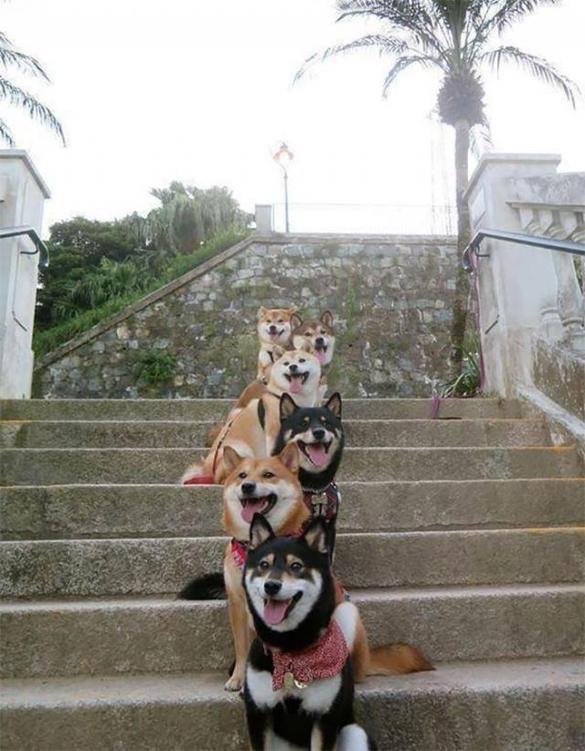 Lovely Shiba Inu dogs