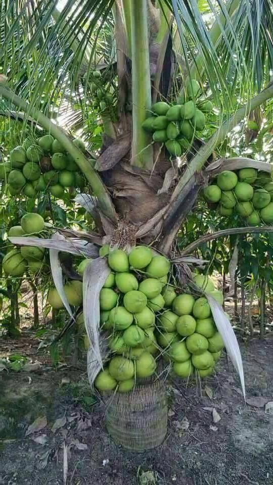 Dwarf coconut tree but there are many fruits