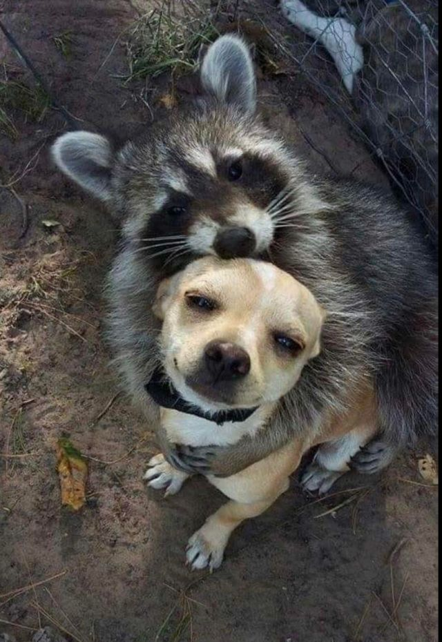 Different But Best Friends - Funny pictures, memes - funvizeo.com - funny animal pictures,funny raccoon,raccoon,funny dog,friend