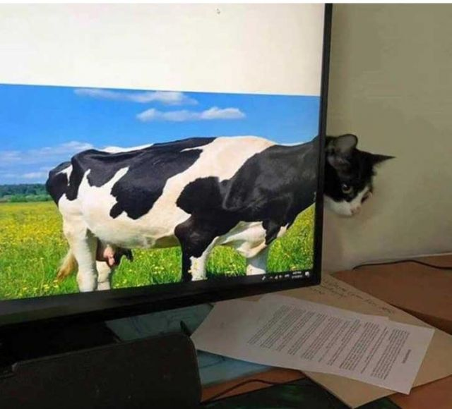 Cow Cat - Funny pictures, memes - funvizeo.com - funny,funny pictures,funny cat,cow