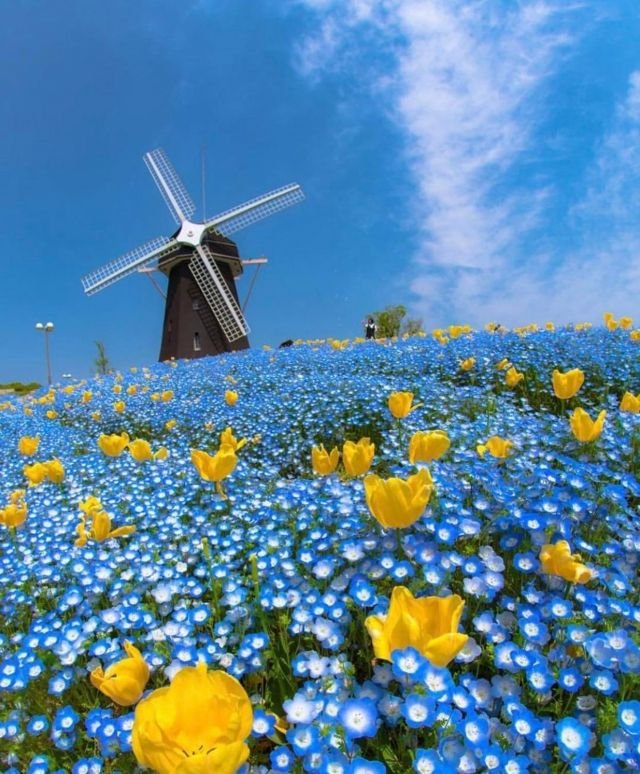 The blue flower fields located in Osaka, Japan - Funny pictures, memes - funvizeo.com - beautiful nature,flower,field,japan,windmill