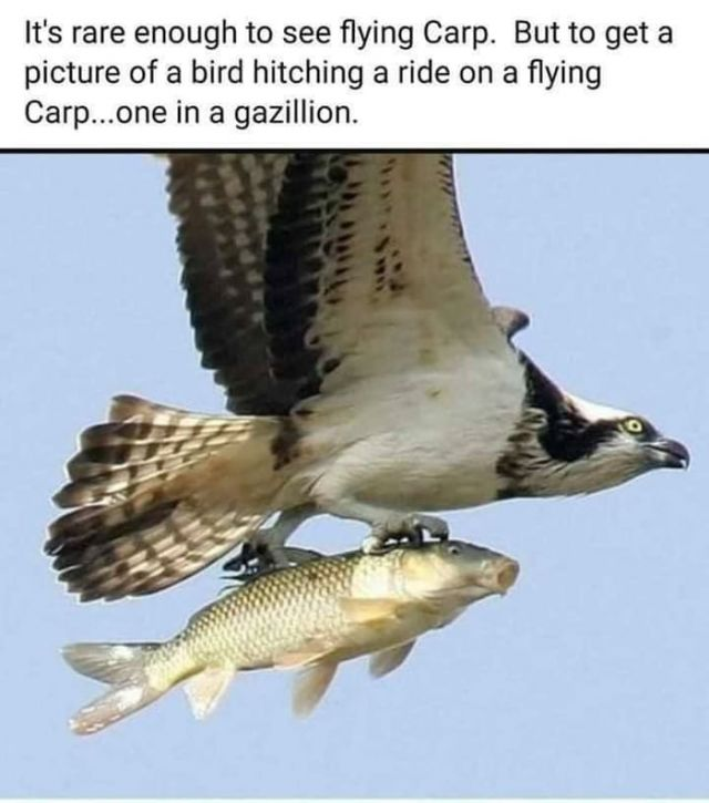 Bird hitching a ride on a flying Carp - Funny pictures, memes - funvizeo.com - beautiful nature,wild animal,funny,awesome