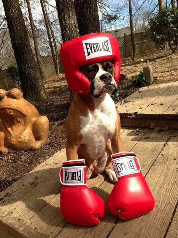 Boxer Dog - Funny Videos - funvizeo.com - Boxer Dog, Funny Pet, Boxing Gloves, Boxing Helmet, Boxing Headgear
