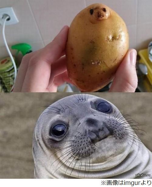 Funny Potato - Funny pictures, memes - funvizeo.com - funny,funny pictures,water seal,potato