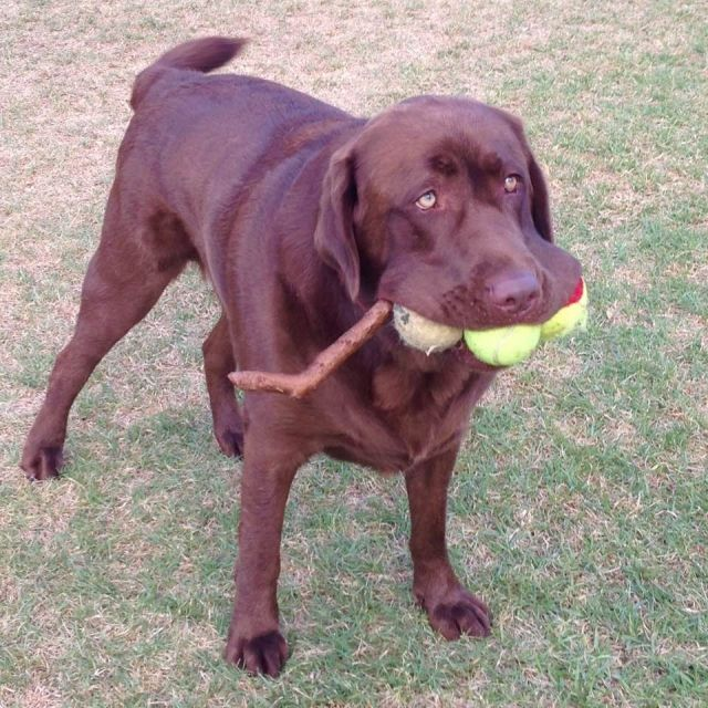 Fun dog holds three tennis balls and a bonus stick in mouth - Funny pictures, memes - funvizeo.com - funny dog pictures,funny pet,ball
