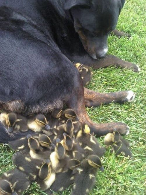 Dog adopts cute ducklings - Funny Videos - funvizeo.com - funny animal pictures,duckling,funny dog,nanny