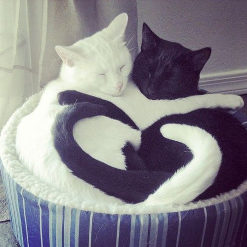 Cats making heart with tails