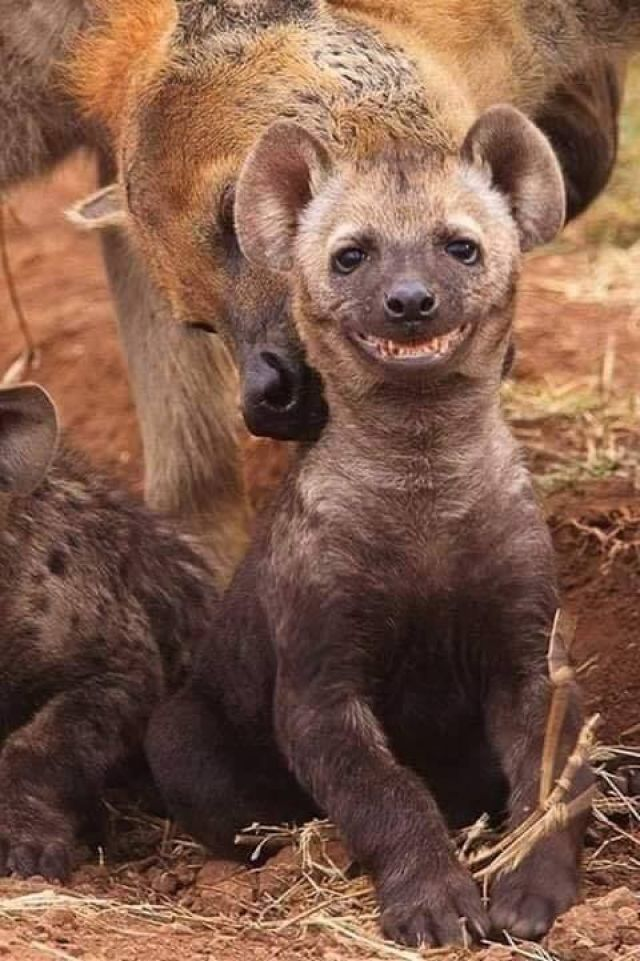 Happy Hyena Smile - Funny pictures, memes - funvizeo.com - wild animals,smile,cute hyena,puppy