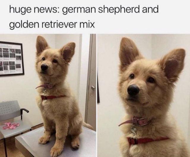 Golden retriver german shepard mix