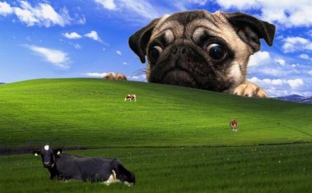 Legend Wallpaper - Funny Videos - funvizeo.com - dog, pug, cow, pet, animal, funny picture, wallpaper