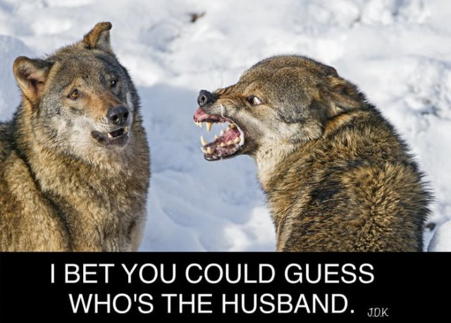 It's quite obvious - Funny pictures, memes - funvizeo.com - wife,funny,funny pictures,funny wolf,animals