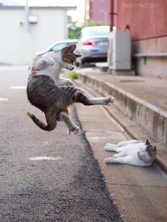 Kung Fu Cat - Funny Videos - funvizeo.com - cat, kungfu, pet, kick