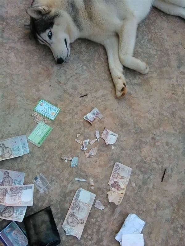 It seems he already knew the mistake, lol - Funny pictures, memes - funvizeo.com - torn money, siberian husky, funny dog, money, wallet