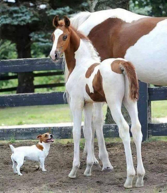 We are a family, haha - Funny pictures, memes - funvizeo.com - horse, dog, swedish farmdog, pet, animal