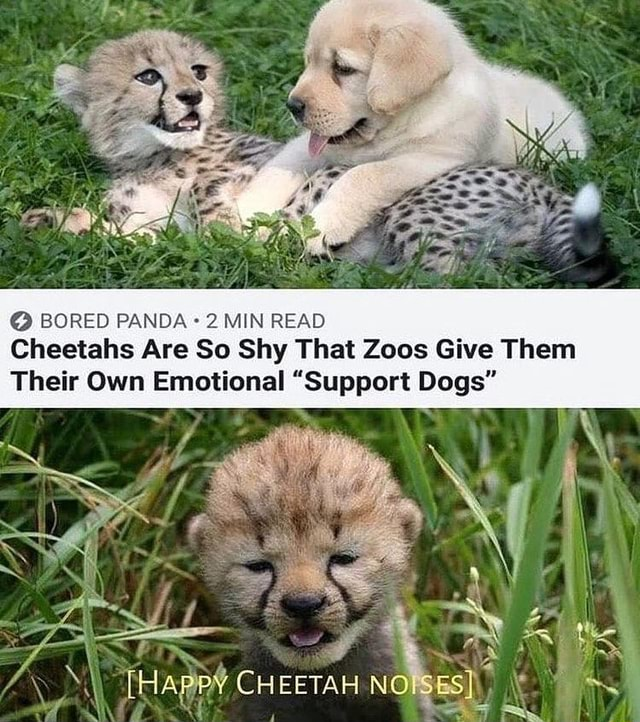BORED PANDA 2 MIN READ Cheetahs Are So Shy That Zoos Give Them Their Own Emotional Support Dogs  HApPY CHEETAH NO SESI the memes