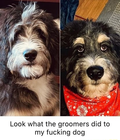 Look what the groomers did to my fucking dog memes