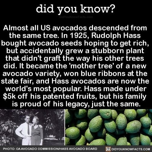 Did you know Almost all US avocados descended from the same tree. In 1925, Rudolph Hass bought avocado seeds hoping to get rich, but accidentally grew a stubborn plant that didn't graft the way his other trees did. It became the mother tree of anew avocado variety, won blue ribbons at the state fair, and Hass avocados are now the world's most popular. Hass made under off his patented fruits, but his family is proud of his legacy, just the same. I0TO GAAVOCADO COMMISSIONIHASS AVOGADO BOARD memes