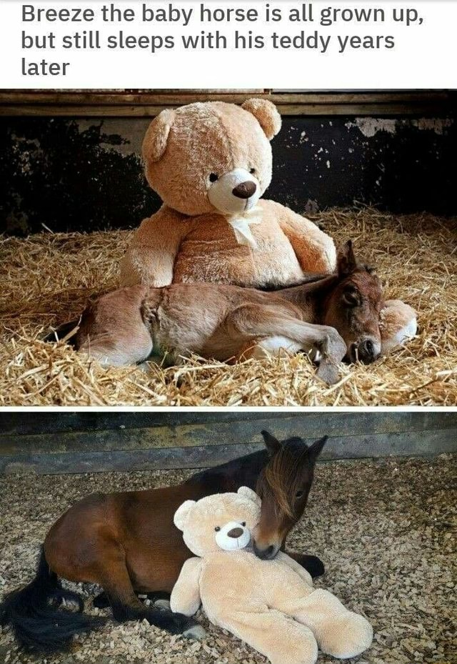 Breeze the baby horse is all grown up, but still sleeps with his teddy years later memes
