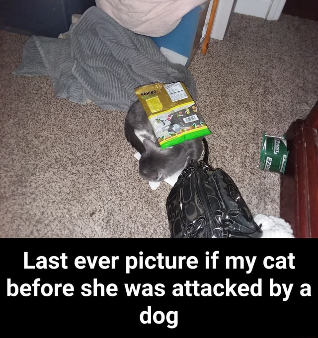 Last ever picture if my cat before she was attacked by a dog  Last ever picture if my cat before she was attacked by a dog memes