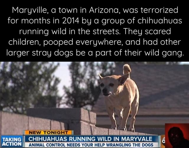 Maryville, a town in Arizona, was terrorized for months in 2014 by a group of chihuahuas running wild in the streets. They scared children, pooped everywhere, and had other larger stray dogs be a part of their wild gang. ACTION ANIMAL CONTROL NEEDS YOUR HELP W RANGLING THE DOGS memes