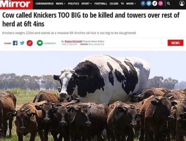 Mirror CORONAVIRUS NEWS POLITICS SpoRT FooTBALL cess TY Mone ff herd at dins Cow called Knickers TOO BIG to be killed and towers over rest of memes
