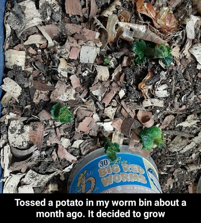 Tossed a potato in my worm bin about month ago. It decided to grow Tossed a potato in my worm bin about a month ago. It decided to grow meme
