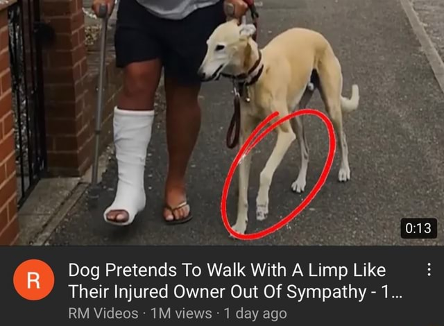 Dog Pretends To Walk With A Limp Like Their Injured Owner Out Of Sympathy  1 RM views 1 day ago memes