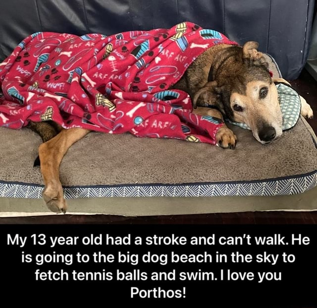 My 13 year old had a stroke and can not walk. He is going to the big dog beach in the sky to fetch tennis balls and swim. love you Porthos My 13 year old had a stroke and can not walk. He is going to the big dog beach in the sky to fetch tennis balls and swim. I love you Porthos memes