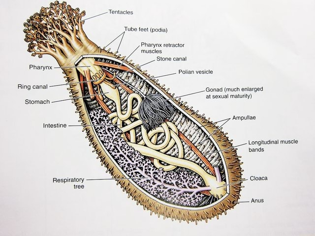 Tentacles Pharynx Tube feet podia Pharynx retractor muscles Stone canal Polian vesicle Ring canal Gonad much enlarged at sexual maturity Stomach Ampullae Intestine Longitudinal muscle bands Respiratory Cloaca tree Anus meme
