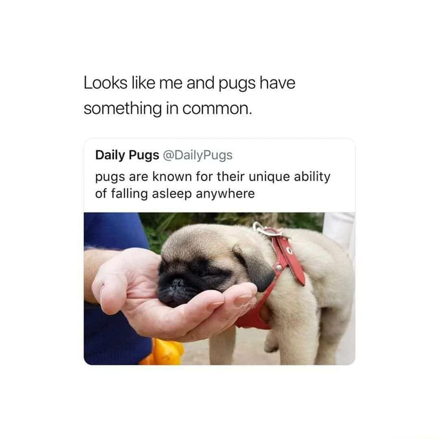 Looks like me and pugs have something in common. Daily Pugs DailyPugs pugs are known for their unique ability of falling asleep anywhere meme