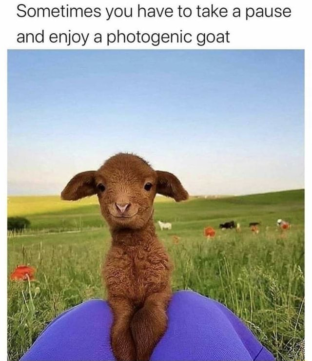 Sometimes you have to take pause and enjoy a photogenic goat memes