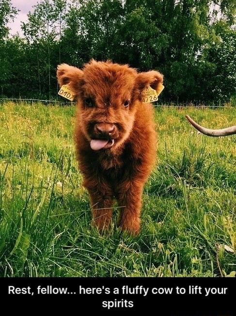 Rest, fellow here's a fluffy cow to lift your spirits Rest, fellow here's a fluffy cow to lift your spirits memes