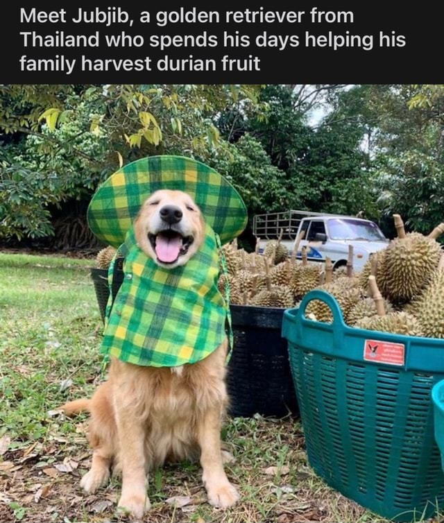 Meet Jubjib, a golden retriever from Thailand who spends his days helping his family harvest durian fruit TARE GER memes
