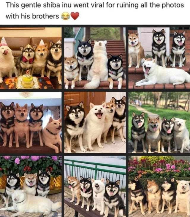 This gentle shiba inu went viral for ruining all the photos with his brothers memes