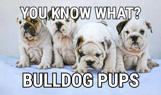 YOU KNOW WHAT BULLDOG PUPS memes