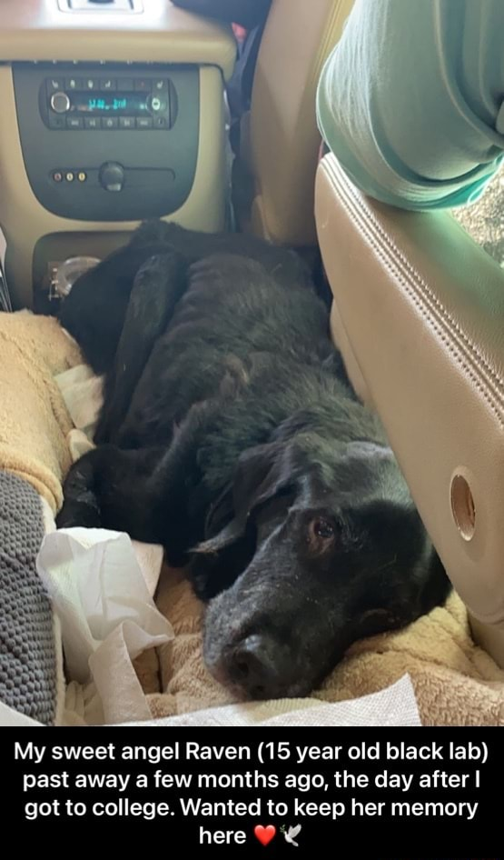 My sweet angel Raven 15 year old black lab past away a few months ago, the day after I got to college. Wanted to keep her memory here My sweet angel Raven 15 year old black lab past away a few months ago, the day after I got to college. Wanted to keep her memory here memes
