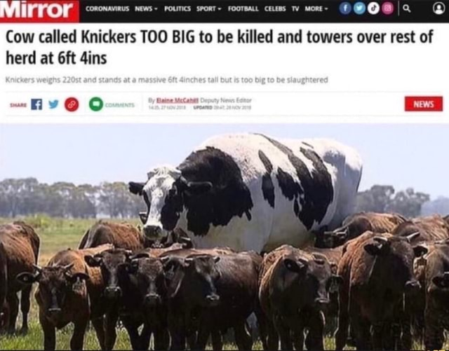 Mirror CORONAVIRUS NEWS POLITICS SpoRT FooTsaL. cess Mo Cow called Knickers TOO BIG to be killed and towers over rest of herd at Gins memes