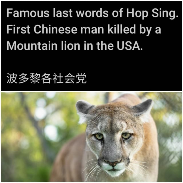 Famous last words of Hop Sing. First Chinese man killed by a Mountain lion in the USA memes