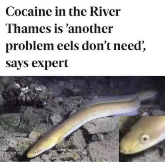 Cocaine in the River Thames is another problem eels do not need', Says expert memes