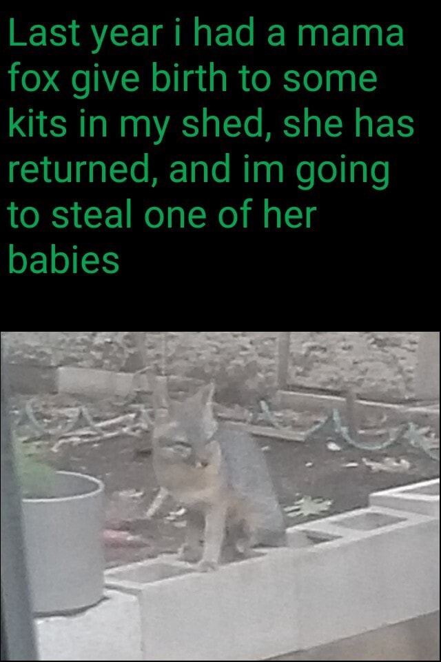Last year i had a mama fox give birth to some kits in my shed, she has returned, and im going to steal one of her babies memes
