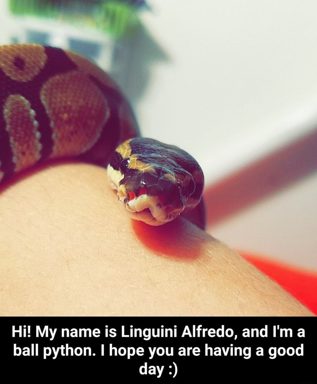 Hi My name is Linguini Alfredo, and I'm a ball python. I hope you are having a good day Hi My name is Linguini Alfredo, and I'm a ball python. I hope you are having a good day memes