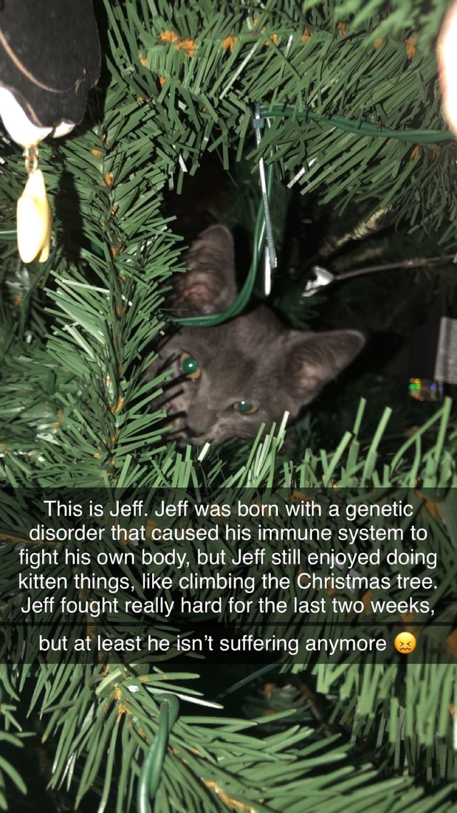 SS ING This is Jeff. Jeff was born with a genetic disorder that caused his immune system to fight his own body, but Jeff still enjoyed doing kitten things, like climbing the Christmas tree. Jeff fought really hard for the last two weeks, but at least he isn't suffering anymore AS ec meme
